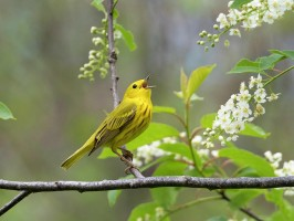 Yellow warbler song bird singing in tree flowers by Scott Leslie, Fine Art America