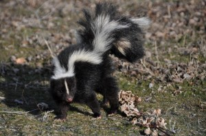 Skunks are one of the top carriers of rabies in Middle Tennessee